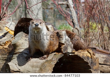 North American River Otter, Lontra canadensis, captive - stock photo