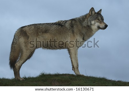 North American Wolf in winter coat