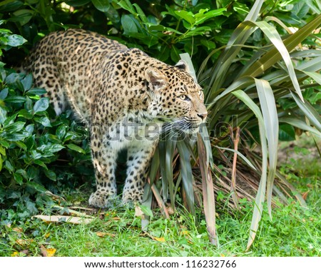 North Chinese Leopard Stalking through Bush Panthera Pardus Japonensis