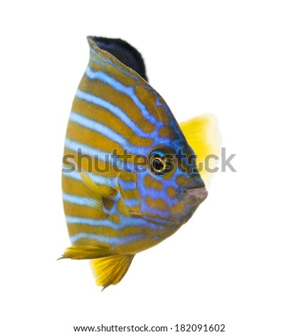 Northern Angelfish, Chaetodontoplus septentrionalis, isolated on white - stock photo