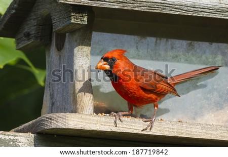 Northern Cardinal - stock photo