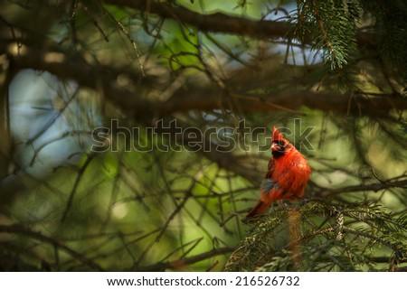 Northern cardinal (Cardinalis cardinals) - stock photo