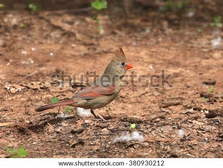 Northern Cardinal (female) - stock photo