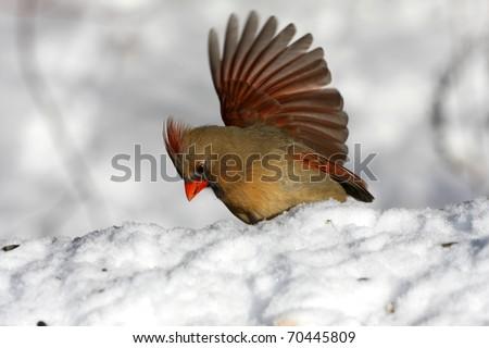 Northern Cardinal female - stock photo