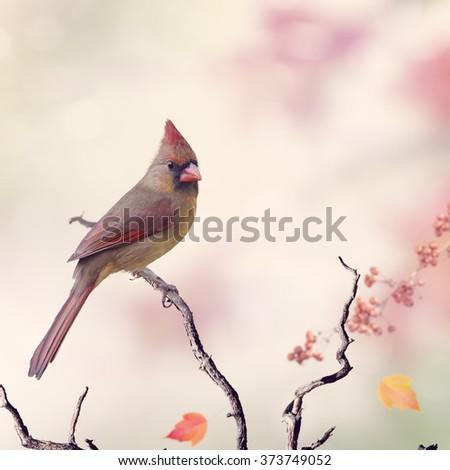 Northern Cardinal Female (Cardinalis cardinalis) Perching - stock photo