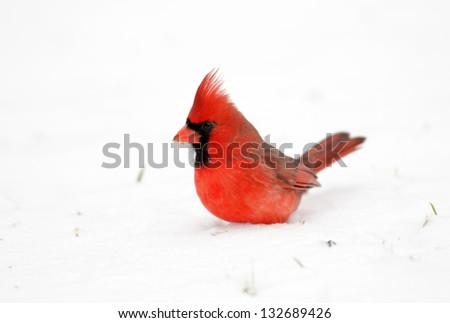 Northern cardinal in snow following a heavy winter snowstorm - stock photo