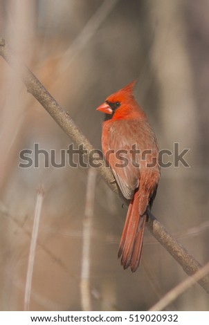 Northern Cardinal male in spring plumage