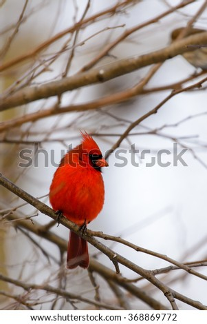 NORTHERN CARDINAL MALE PERCHED IN A TREE