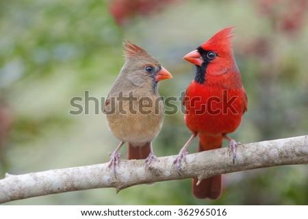 Northern Cardinal Mates Facing Each Other - stock photo