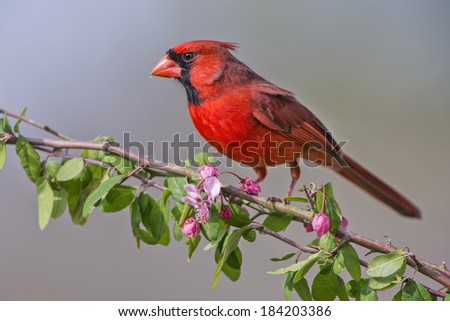 Northern Cardinal on Blossoming Crab Apple - stock photo