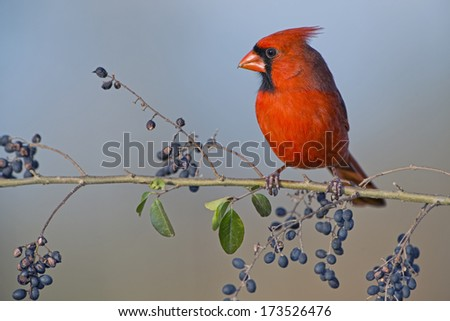 Northern Cardinal on Wild Berry Branch - stock photo