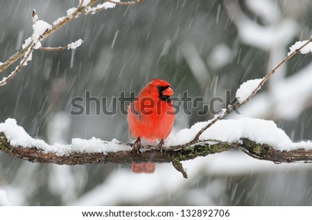 Northern Cardinal perched on a branch during a heavy winter snow storm