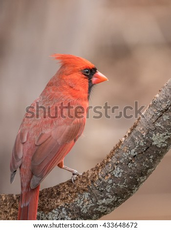 Northern Cardinal Perched on Branch - stock photo