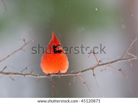 Northern cardinal perched on branch during winter storm - stock photo