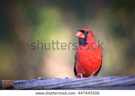 Northern Cardinal sits on a fence looking towards camera - stock photo