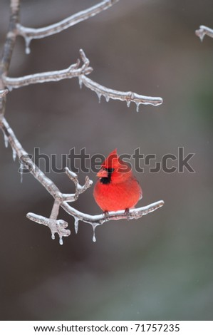 Northern cardinal sitting on an ice covered branch following winter storm - stock photo