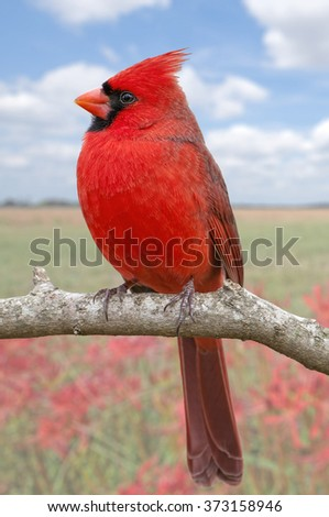 Northern Cardinal with Cheerful Background - stock photo