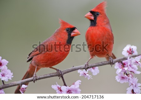 Northern Cardinals Males on Plum Blossom Branch - stock photo