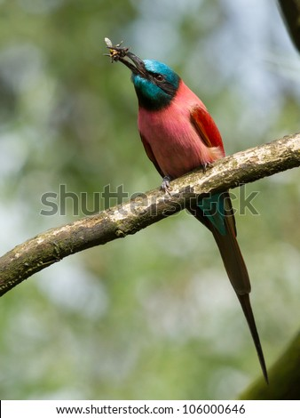 Northern Carmine Bee-Eater is eating a bumblebee
