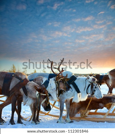 Northern deer are in harness on snow. - stock photo