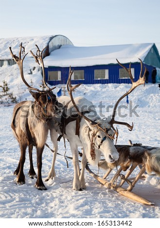 Northern deer are in harness on snow in winter on background countryside. - stock photo