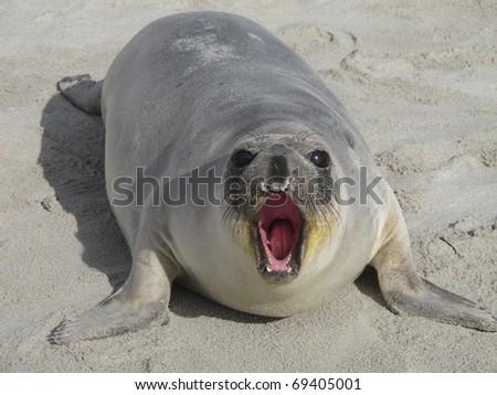 northern  elephant  seal - stock photo