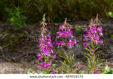 Northern Fireweed plant