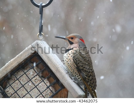 northern flicker eating suet at a bird feeder - stock photo