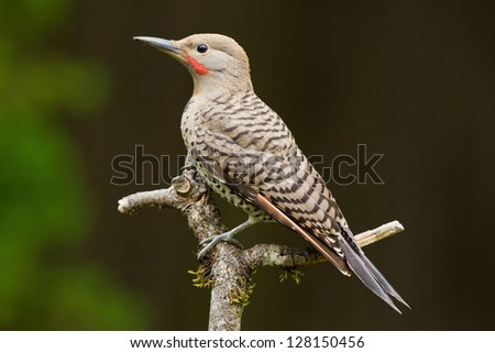 Northern Flicker is a medium-sized member of the woodpecker family. - stock photo