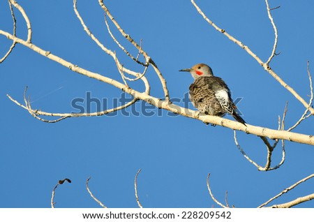 Northern Flicker Perched in a Tree - stock photo