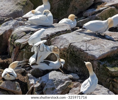 Northern gannet mating. - stock photo