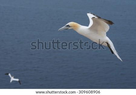 Northern gannet (Morus bassanus), Helgoland island ,Germany - stock photo