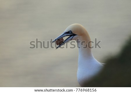Northern Gannet (Morus bassanus) with material for nest building Heligoland Germany