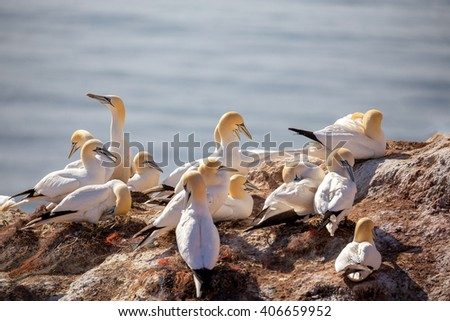 Northern gannet (Sula bassana), beautiful sea bird, sitting on the nest with blue sea water in the background, Helgoland island, Germany