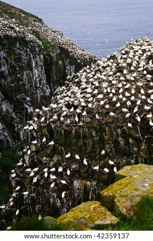 Northern gannets at Cape St. Mary's Ecological Bird Sanctuary in Newfoundland, Canada - stock photo