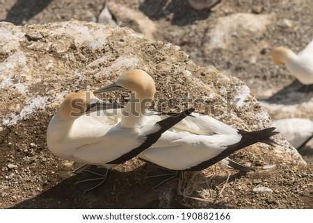Northern Gannets in courtship - stock photo