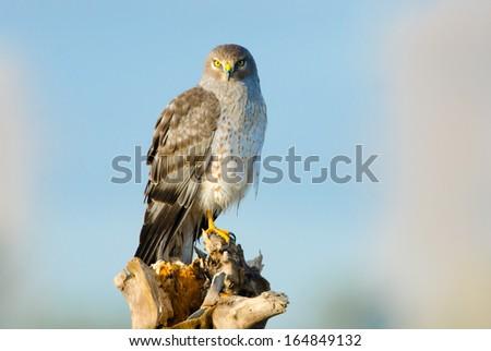 Northern Harrier, Marsh Hawk.  Male - stock photo