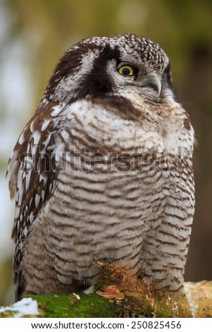 Northern Hawk-Owl close up - stock photo