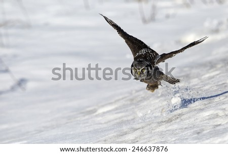 Northern Hawk Owl flying toward the camera.  Winter scene with snow on the ground. - stock photo