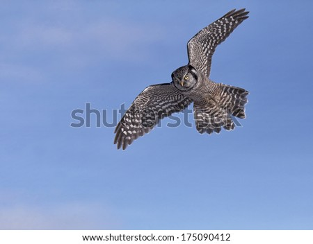 Northern Hawk Owl in flight against a blue sky background. - stock photo