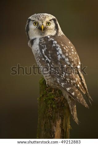 Northern Hawk Owl (Surnia ulula) - stock photo
