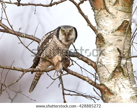 Northern Hawk Owl (Surnia ulula) in a tree with a mouse in his claws - stock photo