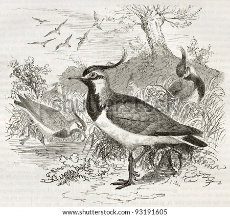 Northern Lapwing old illustration (Vanellus, vanellus). Created by Kretschmer and Illner, published on Merveilles de la Nature, Bailliere et fils, Paris, ca. 1878 - stock photo