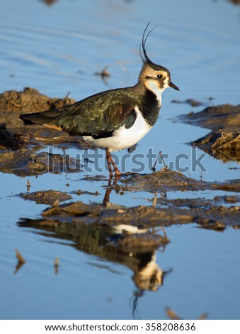 Northern lapwing, Vanellus vanellus - stock photo