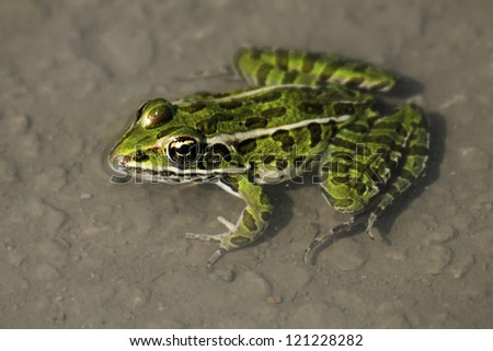Northern Leopard Frog in a pond with its head out of the water. - stock photo