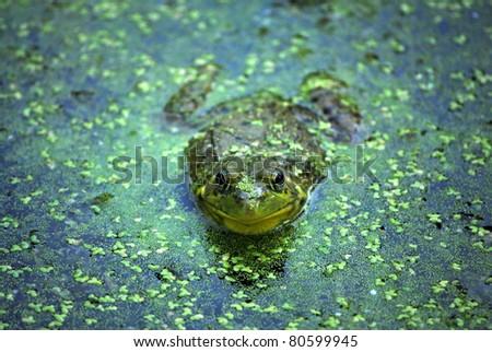 Northern Leopard Frog,Rana pipiens - stock photo