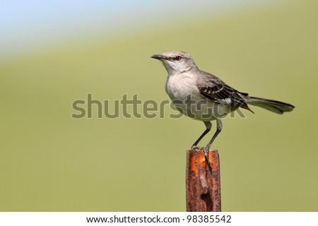 Northern Mockingbird - stock photo
