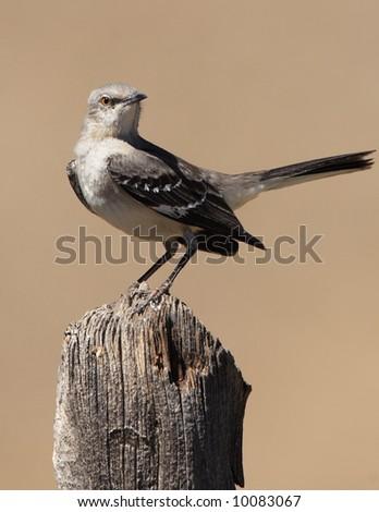 Northern Mockingbird - Guadalupe Mountains National Park - stock photo