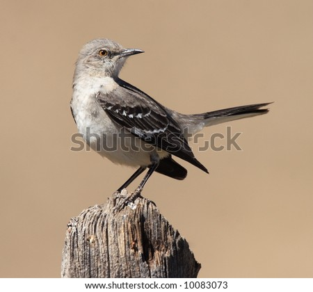 Northern Mockingbird - Guadalupe Mountains National Park