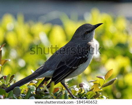 Northern Mockingbird with head tilted to side as if contemplating something.        - stock photo